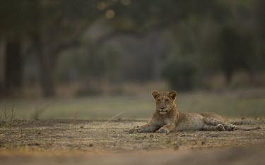 Young African lion lying on dirt Africa,lion,big cat,carnivores,carnivora,cat,desert,endangered,leo,Mammals,Panthera,resting,lying down,Terrestrial,vertebrate,Vulnerable,Felidae,felid,savannah,savanna,rosettes,young,juvenile,cub,Cats