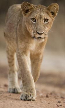 African lion close up Africa,lion,big cat,carnivores,carnivora,cat,desert,endangered,leo,Mammals,mammalia,Panthera,Terrestrial,vertebrate,Vulnerable,felid,felidae,savannah,savanna,young,juvenile,walking,Felidae,Cats,Mammal