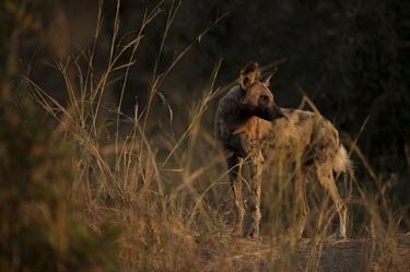 African wild dog standing in grassland Africa,Animalia,Canidae,Carnivora,Carnivores,Carnivorous,Chordata,Chordates,Coyote,Dog,Canid,Vertebrate,Endangered,Lycaon,Mammalia,mammals,pictus,savannah,savanna,grass,standing,sunset,wounded,injured