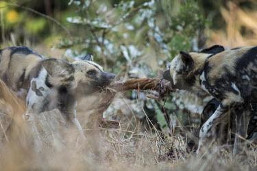 Two African wild dogs fighting over food Africa,Animalia,Canidae,Canid,Carnivora,Carnivores,Carnivorous,Chordata,Chordates,Vertebrate,Dog,Endangered,Lycaon,Mammalia,mammals,pictus,savannah,savanna,grass,close up,playing,play fighting,play,Tw