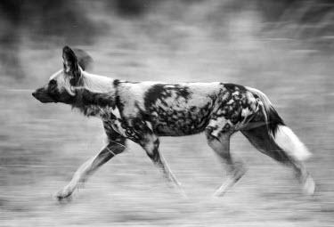 African wild dog running Africa,Animalia,Canidae,Canid,Carnivora,Carnivores,Carnivorous,Chordata,Chordates,Vertebrate,Dog,Endangered,Lycaon,Mammalia,mammals,pictus,savannah,savanna,grass,close up,side on,black and white,runni