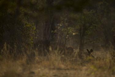African wild dog in grassland Africa,Animalia,Canidae,Canid,Carnivora,Carnivores,Carnivorous,Chordata,Chordates,Vertebrate,Dog,Endangered,Lycaon,Mammalia,mammals,pictus,savannah,savanna,grass,resting,looking,Mammals,Dog, Coyote, W