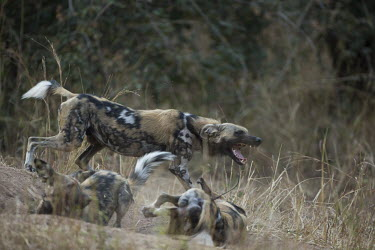 Three African wild dogs play fighting Africa,Animalia,Canidae,Canid,Carnivora,Carnivores,Carnivorous,Chordata,Chordates,Vertebrate,Dog,Endangered,Lycaon,Mammalia,mammals,pictus,savannah,savanna,grass,close up,playing,play fighting,play,ba