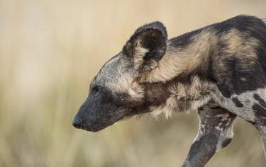 African wild dog walking Africa,Animalia,Canidae,Canid,Carnivora,Carnivores,Carnivorous,Chordata,Chordates,Vertebrate,Dog,Endangered,Lycaon,Mammalia,mammals,pictus,savannah,savanna,grass,close up,side on,profile,head,ears,pat