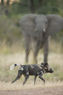 African wild dog walking past elephant Africa,Animalia,Canidae,Canid,Carnivora,Carnivores,Carnivorous,Chordata,Chordates,Vertebrate,Dog,Endangered,Lycaon,Mammalia,mammals,pictus,savannah,savanna,grass,walking,grassland,elephant,pattern,Mam