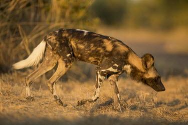 African wild dog wandering in the sun Africa,Animalia,Canidae,Canid,Carnivora,Carnivores,Carnivorous,Chordata,Chordates,Vertebrate,Dog,Endangered,Lycaon,Mammalia,mammals,pictus,savannah,savanna,grass,walking,grassland,sunny,sun,profile,pa
