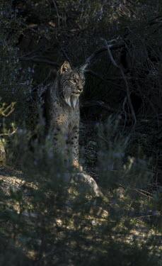 Iberian lynx Carnivores,Iberian Lynx,Lynx pardinus,Mammals,Mammalia,Endangered,Spain,Spanish Lynx,vertebrates,cats,Felidae,Felid,hiding,forest,Carnivora,Europe,Chordates,Chordata,Cats,Animalia,Lynx,Broadleaved,par