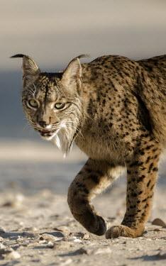 Iberian lynx close up Carnivores,Iberian Lynx,Lynx Pardinus,Mammals,Mammalia,Felidae,Felid,Endangered,Spain,Spanish Lynx,vertebrates,Big cats,cats,close up,face,head,eyes,Europe,Chordates,Chordata,Carnivora,Cats,Animalia,L