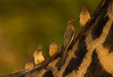 Oxpeckers sat on a giraffe Birds,Aves,grooming,perching,giraffe,oxpeckers,Africa,Buphagidae,endemic,sun,sunset