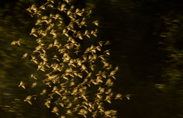 Flock of red-billed queleas Africa,Birds,Aves,flock,in flight,motion,blurred,flying,groups,Quelea quelea,Red-billed Quelea,Vertebrates,Least Concern