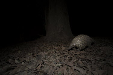 Temmincks pangolin walking at night Africa,Temmincks,pangolins,night,dark,nocturnal,leaves,forest,Vertebrate,Animal,Mammal,Mammalia,Endangered,strange,weird,unique,ugly,cute,Mammals,Manidae,Pangolins,Pholidota,Chordates,Chordata,Savanna