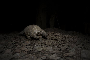 Temmincks pangolin exploring Africa,Temmincks,pangolins,night,dark,nocturnal,leaves,forest,Vertebrate,Animal,Mammal,Mammalia,Endangered,strange,weird,unique,ugly,cute,Mammals,Manidae,Pangolins,Pholidota,Chordates,Chordata,Savanna