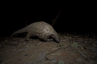 Temmincks pangolin walking Africa,Temmincks,pangolins,night,dark,nocturnal,leaves,forest,Vertebrate,Animal,Mammal,Mammalia,Endangered,strange,weird,unique,ugly,cute,Mammals,Manidae,Pangolins,Pholidota,Chordates,Chordata,Savanna