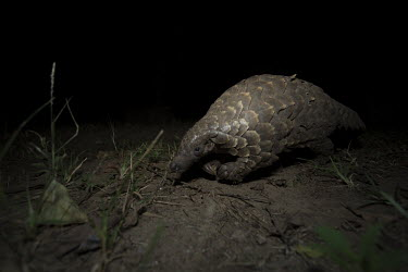 Temmincks pangolin walking on leaves and mud Africa,Temmincks,pangolins,night,dark,nocturnal,leaves,forest,Vertebrate,Animal,Mammal,Mammalia,Endangered,strange,weird,unique,ugly,cute,Mammals,Manidae,Pangolins,Pholidota,Chordates,Chordata,Savanna