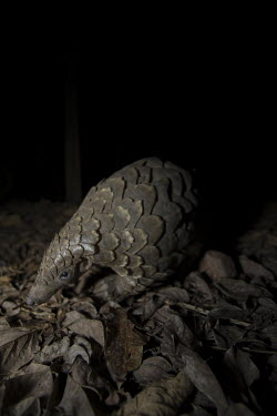 Temmincks pangolin walking around at night Africa,Temmincks,pangolins,night,dark,nocturnal,leaves,forest,Vertebrate,Animal,Mammal,Mammalia,Endangered,strange,weird,unique,ugly,cute,Mammals,Manidae,Pangolins,Pholidota,Chordates,Chordata,Savanna