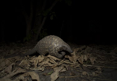 Temmincks pangolin on leaves at night Africa,Temmincks,pangolins,night,dark,nocturnal,leaves,forest,Vertebrate,Animal,Mammal,Mammalia,Endangered,strange,weird,unique,ugly,cute,Mammals,Manidae,Pangolins,Pholidota,Chordates,Chordata,Savanna