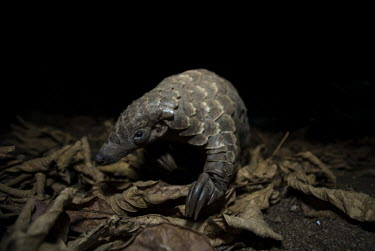 Temmincks pangolin on leaves Africa,Temmincks,pangolins,night,dark,nocturnal,leaves,forest,Vertebrate,Animal,Mammal,Mammalia,Endangered,strange,weird,unique,ugly,cute,Mammals,Manidae,Pangolins,Pholidota,Chordates,Chordata,Savanna