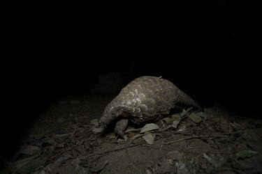 Temmincks pangolin walking on leaves Africa,Temmincks,pangolins,night,dark,nocturnal,leaves,forest,Vertebrate,Animal,Mammal,Mammalia,Endangered,strange,weird,unique,ugly,cute,Mammals,Manidae,Pangolins,Pholidota,Chordates,Chordata,Savanna