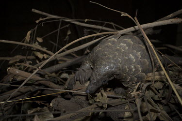 Temmincks pangolin amongst leaves and twigs Africa,Temmincks,pangolins,night,dark,nocturnal,leaves,forest,Vertebrate,Animal,Mammal,Mammalia,Endangered,strange,weird,unique,ugly,cute,Mammals,Manidae,Pangolins,Pholidota,Chordates,Chordata,Savanna