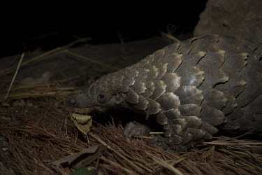 Temmincks pangolin at night Africa,Temmincks,pangolins,night,dark,nocturnal,leaves,forest,Vertebrate,Animal,Mammal,Mammalia,Endangered,strange,weird,unique,ugly,cute,Mammals,Manidae,Pangolins,Pholidota,Chordates,Chordata,Savanna