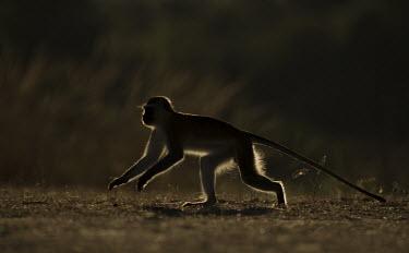 Vervet monkey exploring Africa,Animalia,Vervet,monkey,Mammals,Mammalia,monkeys,Chlorocebus,Cercopithecidae,omnivorous,primates,Pygerythrus,silhouette,shadow,Primates,Chordates,Chordata,Old World Monkeys,pygerythrus,Terrestri
