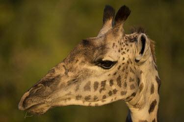 Thornicroft giraffe head Africa,Animalia,Thornicroft,Giraffe,Camelopardis,Endangered,close-up,head,Herbivorous,wild,Chordata,vertebrate,pattern,patterned,ears,eyes,funny,Giraffidae,Terrestrial,Cetartiodactyla,Savannah,camelop