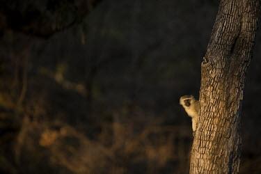 Vervet monkey sitting in tree Africa,Animalia,Vervet,monkey,Mammals,Mammalia,monkeys,Chlorocebus,Cercopithecidae,omnivorous,primates,Pygerythrus,peeking,hiding,trees,tree,Primates,Chordates,Chordata,Old World Monkeys,pygerythrus,T