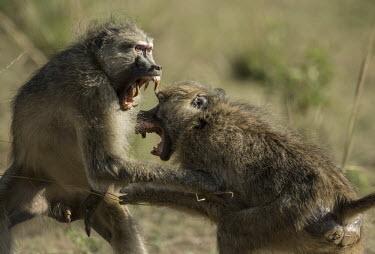 Two yellow baboons playing Africa,Animalia,Cercopithecidae,Chordata,Chordates,Cynocephalus,Mammals,Old World Monkeys,monkeys,monkey,Omnivorous,primates,playing,play fighting,two,teeth,mouth,Primates,Mammalia,Sub-tropical,Carniv
