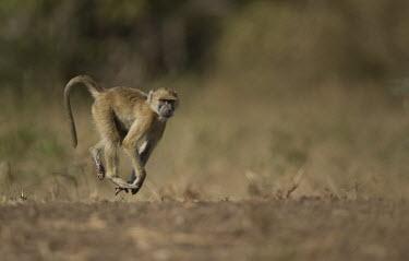 Yellow baboon on the move Africa,Animalia,Cercopithecidae,Chordata,Chordates,Cynocephalus,Mammalia,mammals,Old World monkeys,monkey,Omnivorous,primates,Yellow,Baboon,walking,motion,action,on ground,Old World Monkeys,Primates,M