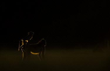 Yellow baboon looking into the distance Africa,Animalia,Cercopithecidae,Chordata,Chordates,Cynocephalus,Mammals,Old World Monkeys,Omnivorous,primates,Yellow,Baboon,sun,sunset,orange,shadow,silhouette,young,baby,Primates,Mammalia,Sub-tropica
