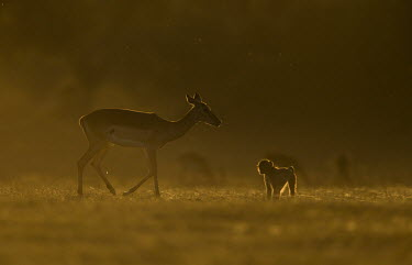 Young yellow baboon with deer Africa,Animalia,Cercopithecidae,Chordata,Chordates,Cynocephalus,Mammals,Old World Monkeys,Omnivorous,primates,Yellow,Baboon,infant,young,juvenile,deer,sun,sunny,sunset,orange,shadow,silhouette,Primate