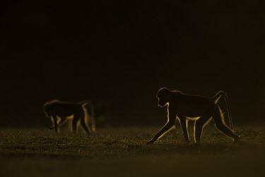 Two Yellow baboons looking for food Africa,Animalia,Cercopithecidae,Chordata,Chordates,Cynocephalus,Mammals,Old World Monkeys,Omnivorous,primates,Yellow,Baboon,sun,sunset,orange,shadow,silhouette,Primates,Mammalia,Sub-tropical,Carnivoro