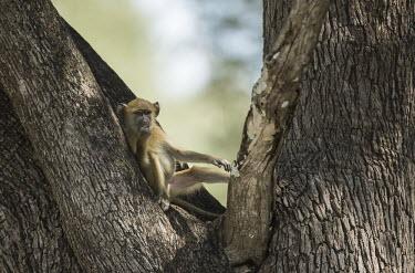 Yellow baboon relaxing in tree Africa,Animalia,Cercopithecidae,Chordata,Chordates,Cynocephalus,Mammals,Old World Monkeys,Omnivorous,primates,Yellow,Baboon,chilling,sitting,relaxing,tree,posing,Primates,Mammalia,Sub-tropical,Carnivo