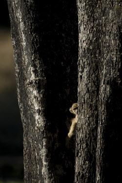 Yellow baboon peeking out from behind a tree Africa,Animalia,Cercopithecidae,Chordata,Chordates,Cynocephalus,Mammals,Old World Monkeys,Omnivorous,primates,Yellow,Baboons,peeking,tree,forest,bark,hiding,Primates,Mammalia,Sub-tropical,Carnivorous,
