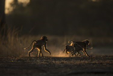 Yellow baboon family playing Africa,Animalia,Cercopithecidae,Chordata,Chordates,Cynocephalus,Mammals,Old World Monkeys,Omnivorous,primates,Yellow,Baboons,playing,play fighting,family,dusk,sunset,dust,Primates,Mammalia,Sub-tropica