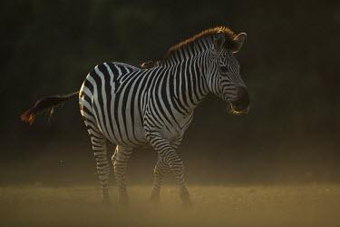 Crawshay's Zebra walking Africa,Plains zebra,Animalia,Chordata,Vertebrate,Equidae,Equid,Equus,Equus quagga,Etosha,Herbivorous,Mammalia,mammals,Sun,orange,pattern,walking,stripes,Least Concern,quagga,Streams and rivers,Perisso