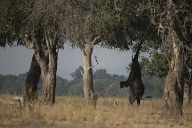 African elephant feeding from tree Africa,African Elephant,elephants,Endangered,mammalia,mammals,herbivorous,wild,terrestrial,Vulnerable,Feeding,Trunk,tusks,mastadons,Pachyderm,Proboscidea,sunset,red sky,silhouette,eating,reaching,Elep