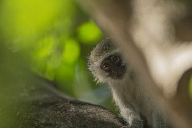 Vervet monkey sat in tree Africa,Animalia,Vervet,monkey,Mammals,Mammalia,monkeys,Chlorocebus,Cercopithecidae,omnivorous,primates,Pygerythrus,peeking,forest,face,head,close up,trees,green,Primates,Chordates,Chordata,Old World M