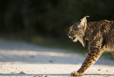 Iberian Lynx walking Carnivores,Iberian Lynx,Lynx Pardinus,Mammals,Mammalia,Felidae,Felid,Endangered,Spain,Spanish Lynx,vertebrates,Big cats,cats,close up,face,head,eyes,Europe,walking,action,motion,Chordates,Chordata,Car