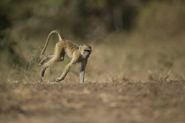 Yellow baboon exploring Africa,Animalia,Carnivorous,Cercopithecidae,Chordata,Chordates,Cynocephalus,Mammalia,mammals,Old World monkeys,monkey,Omnivorous,primates,Yellow,Baboon,walking,motion,action,on ground,Old World Monkey