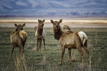 Alert elk elk,cervus elaphus,mammalia,mammal,cetardtiodactyla,deer,cervidae,least concern,female,group,vigilant,alert,grassland,profile,plains,wyoming,USA,north america,America,Even-toed Ungulates,Artiodactyla,