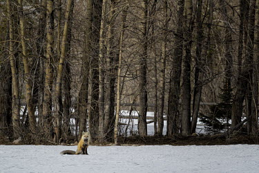 Red fox red forx,north american red fox,mammalia,mammal,carnivora,carnivore,canidae,canids,dogs,least concern,snow,forest,winter,christmas,wyoming,north america,America,Chordates,Chordata,Mammalia,Mammals,Car