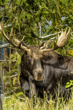 Bull moose moose,alces alces,mammalia,mammal,cervidae,antlers,face,forest,wood,least concern,male,bull,nose,wyoming,USA,North america,deer,America,Cervidae,Deer,Mammalia,Mammals,Chordates,Chordata,Even-toed Ungu