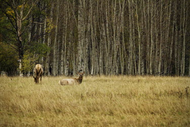 Cow elk resting elk,deer,cervus elaphaus,cervidae,mammalia,mammal,pair,grazing,foraging,female,grasslands,least concern,cetardtiodactyla,oregon,USA,North america,resting,cow elk,forest,sitting,aspen,populus,America,E
