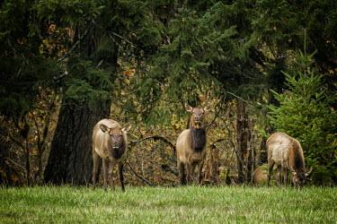 Cow elks eating elk,deer,cervus elaphaus,cervidae,mammalia,mammal,pair,grazing,foraging,female,grasslands,least concern,cetardtiodactyla,oregon,USA,North america,cow elk,America,Even-toed Ungulates,Artiodactyla,Cervi