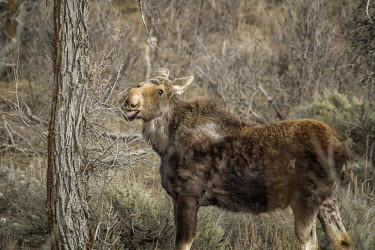 Moose eating moose,alces alces,mammalia,mammal,cervidae,face,forest,wood,least concern,female,nose,wyoming,USA,North america,deer,grazing,eating,tongue,America,Cervidae,Deer,Mammalia,Mammals,Chordates,Chordata,Eve