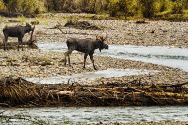 Moose crossing river moose,alces alces,mammalia,mammal,cervidae,antlers,river,least concern,male,bull,nose,wyoming,USA,North america,deer,river crossing,pair,side profile,America,Cervidae,Deer,Mammalia,Mammals,Chordates,C