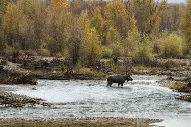 Moose mid-stream moose,alces alces,mammalia,mammal,cervidae,antlers,river,least concern,male,bull,nose,wyoming,USA,North america,deer,river crossing,vertebrate,side profile,America,Cervidae,Deer,Mammalia,Mammals,Chord