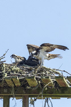 Osprey family osprey,pandion haliaetus,aves,bird,pandionidae,nest,chicks,mother,brood,family,stick nest,love,least concern,USA,North America,beaks,bills,group,parent,offspring,young,portrait,America,Aves,Birds,Acci