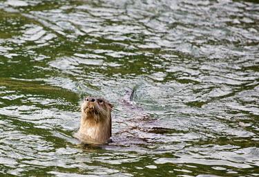 North American river otter swimming north american river otter,north american otter,lontra canadensis,mammalia,carnivora,mustelidae,mustelid,vertebrate,least concern,swimming,fishing,head,whiskers,tail,America,Carnivores,Carnivora,Mamma